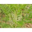 Regaliz Planta