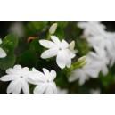 Flor de Melatti